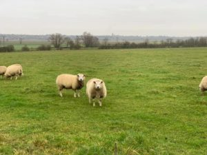 three sheep in a field